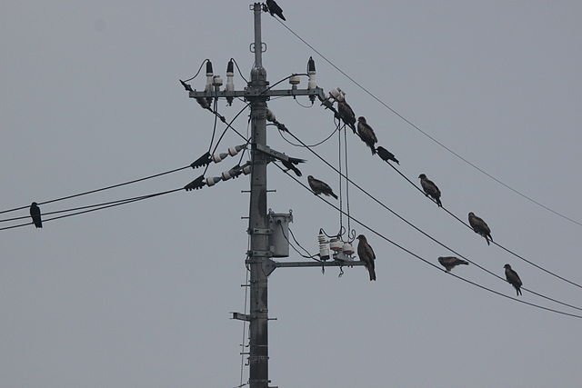Jerry Gunner from Lincoln, UK - Crows and Black Kites on wires, Miho, Southern Uploaded by tm ( Wikimedia )