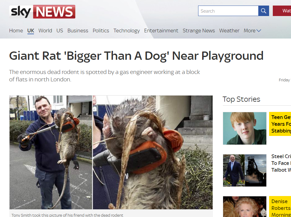 Giant Rat Bigger Than A Dog Near Playground